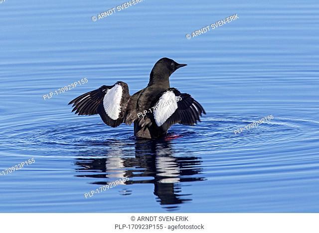 Black guillemot / tystie (Cepphus grylle) in breeding plumage swimming in sea and flapping wings