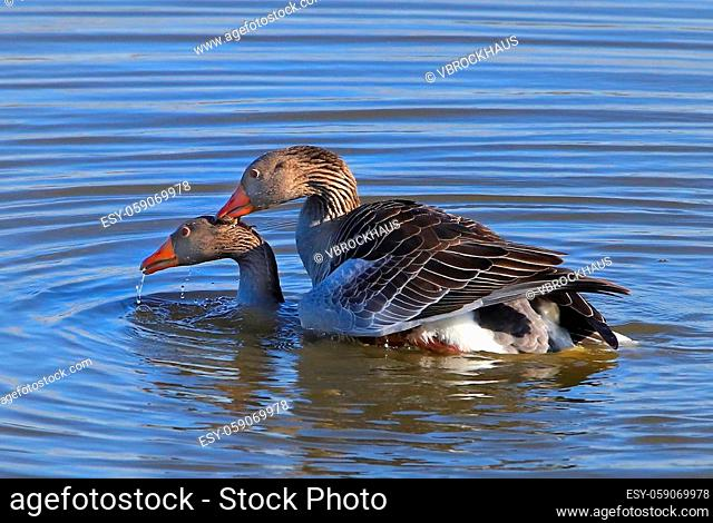 Greylag gooses shortly after the underwater mating, hen goose resurfacing, picture 2 from 3