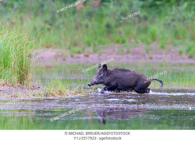 Wild boar (Sus scrofa) in Pond, Hesse, Germany, Europe