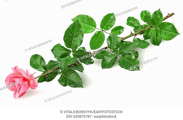 Pink rose flower lying isolated on white background