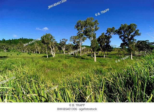 eucalyptus, gum (Eucalyptus spec.), eucalyptus cultivation, New Caledonia, Ile des Pins
