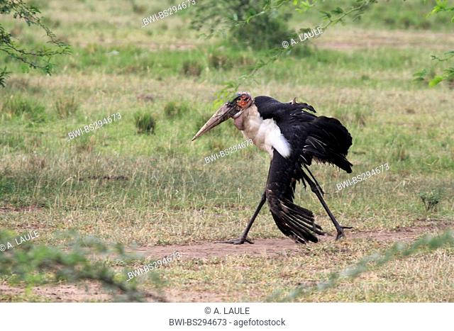 marabou stork (Leptoptilos crumeniferus), animal with heavily injured wing, Uganda, Murchison Falls National Park