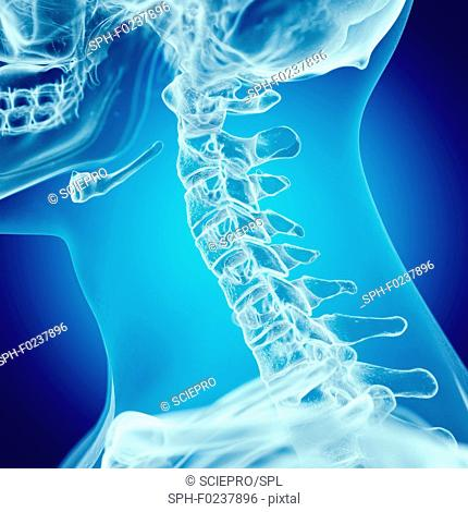 Illustration of the upper spine