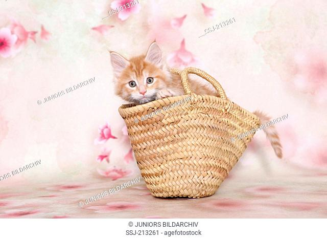 American Longhair, Maine Coon Kitten in a shopper, seen against a light background with Cherry flower print. Germany