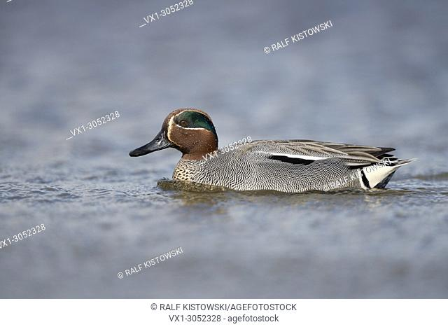 Teal ( Anas crecca ), drake, in colourful breeding dress, swimming close by, perfect side view, wildlife, Europe