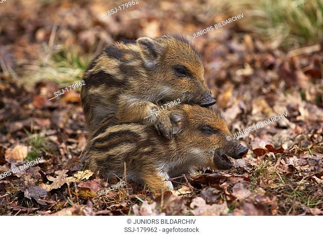 Wild Boar (Sus scrofa), two piglets playing