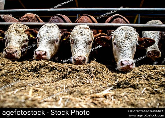 29 May 2020, North Rhine-Westphalia, Hopsten: Bulls stand in the stable of a bull fattening farm. After two years of drought and increased feed costs
