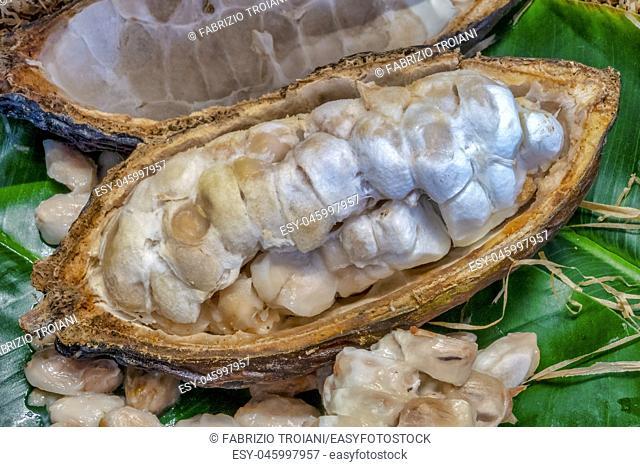 Close up shot of a Cacao pod (Theobroma cacao)