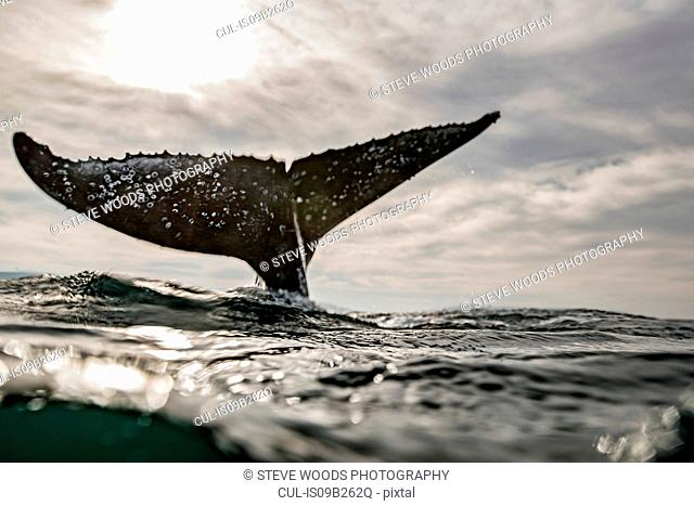 Humpback Whale calf playing on surface of ocean, Port St. Johns, South Africa