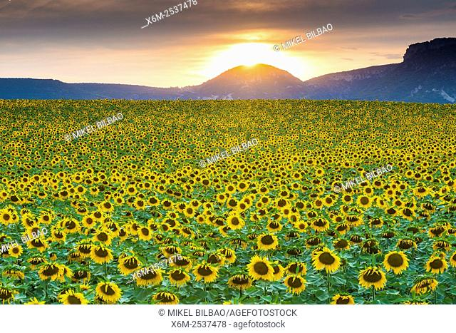 Sunflowers plantation. Arteaga village, Tierra Estella county. Navarre, Spain, Europe