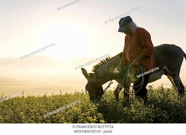 Italy, Tuscany, Borgo San Lorenzo, senior man standing with eating donkey in field at sunrise