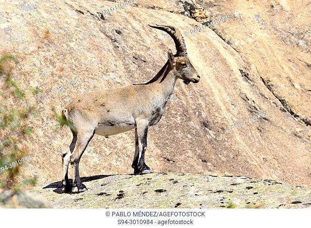 Goat (Capra hispanica) in La Pedriza, Madrid, Spain