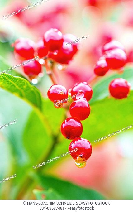 guelder rose with ripe berries