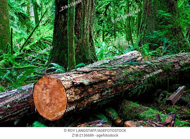 A freshly cut log in a temperate rain forest on Vancouver Island, Canada