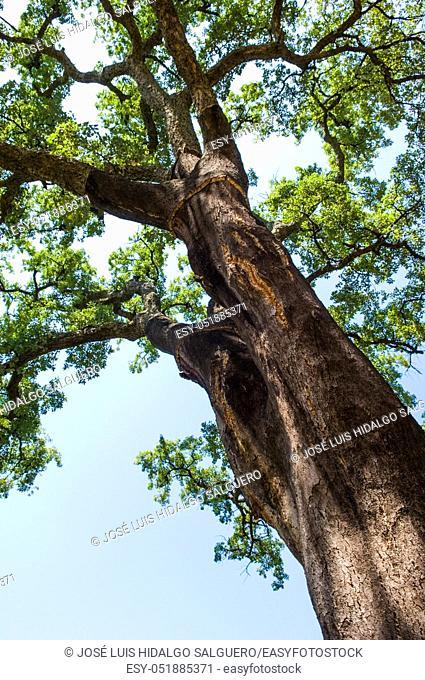 Cork oak in Istán, Málaga, Andalusia, Spain, Europe