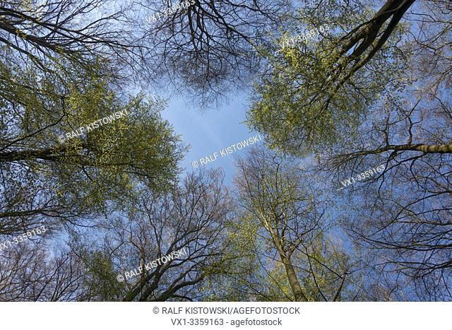 Tree tops in Spring, a look in the blue sky, Beech trees in spring, Germany, Europe