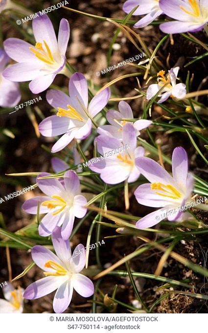 Lavender Crocuses. Crocus tommasinianus Barr's Purple. March 2007, Maryland, USA