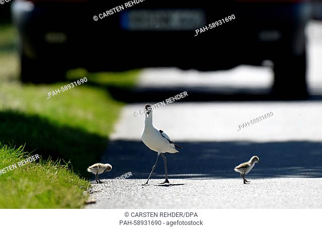A pied avocet and chicks walk across a street near Trennewurth, Germany, 04 June 2015. The chicks had made them selves comfortable on the warm but dangerous...