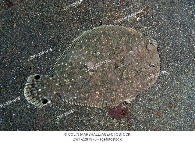 Largescale Flounder (Engyprosopon grandisquama) camouflaged on black sand, Jahir dive site, Lembeh Straits, Sulawesi, Indonesia