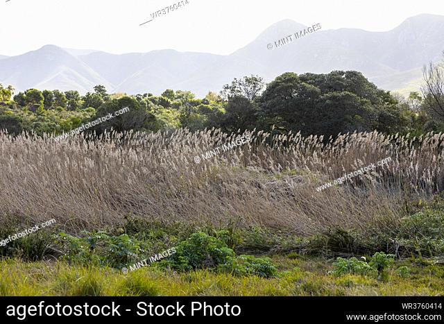 Tall reeds near Klein River, a mountain range in the background