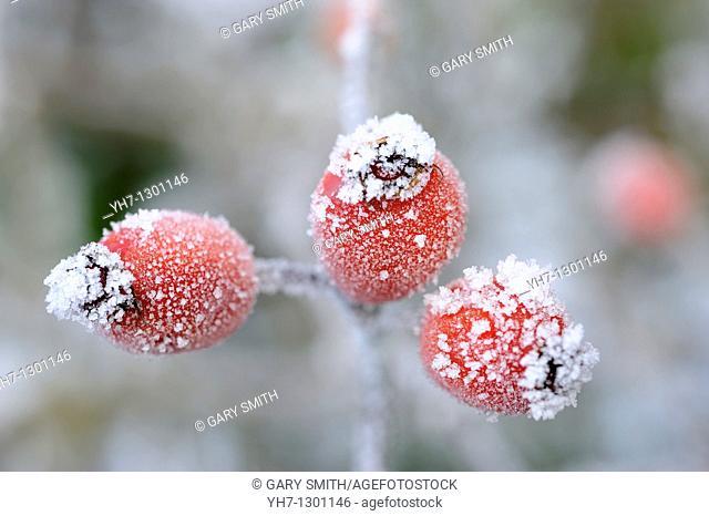 Rose hips,  rosa spp  covered with rime frost, Norfolk, UK, December