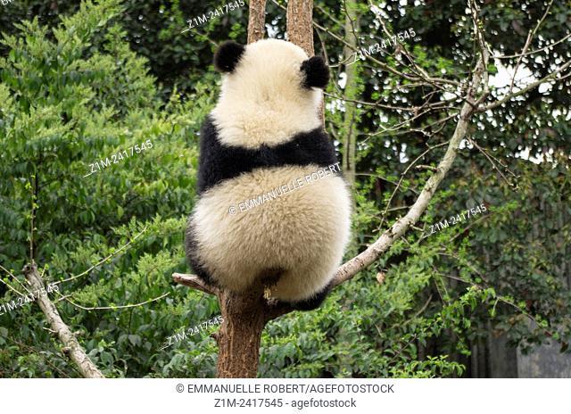 Giant panda, ChengDu panda Base, Sichuan , China