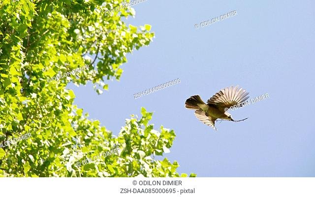Bird flying, carrying twig