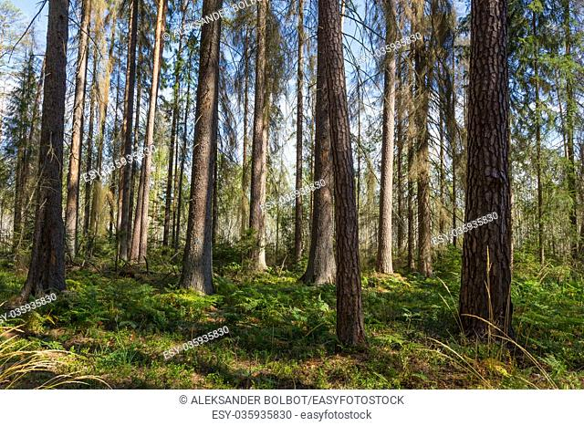 Early autumn morning in the forest with mist and dead spruces still standing, Bialowieza forest, Poland, Europe
