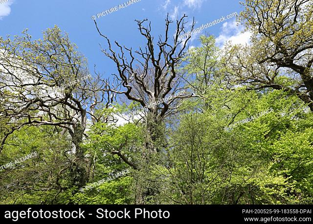 05 May 2020, Mecklenburg-Western Pomerania, Rostock: In the Schnatermann forest district of the Rostock Heath there is a dead oak (M)
