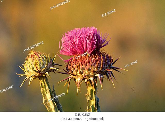 Illyrian Thistle, Onopordum illyricum, Asteraceae, Thistle, flower, blossom, detail, plant, Provence, France