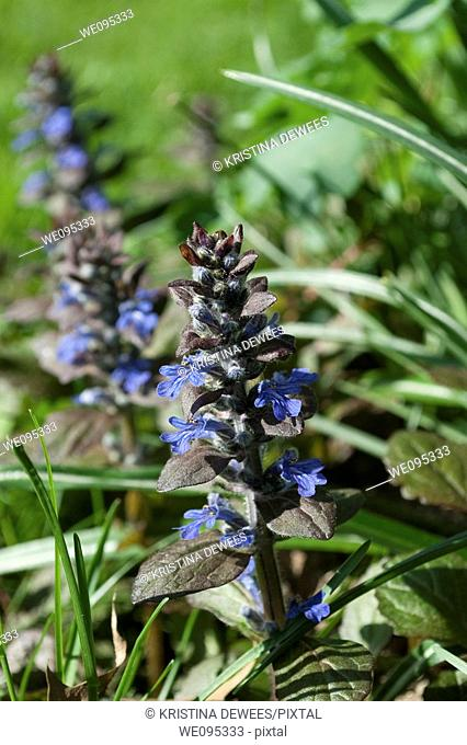 Some blue blooming Ajuga of the variety Chocolate Chip