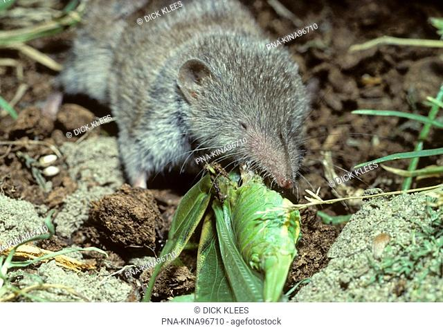 House Shrew Crocidura russula