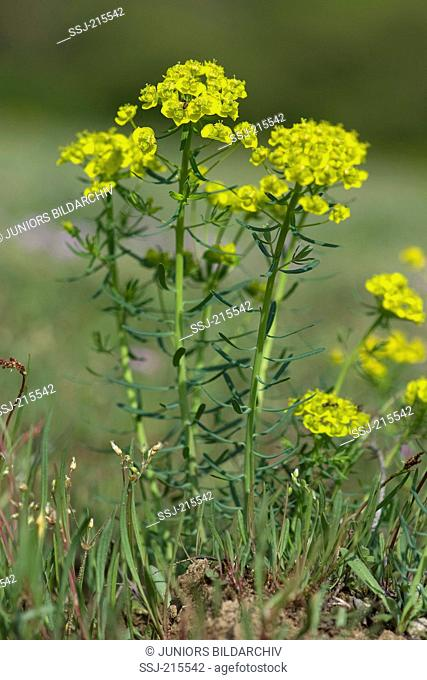 Cypress Spurge, Milkweed (Euphorbia cyparissias), flowering plant. Germany