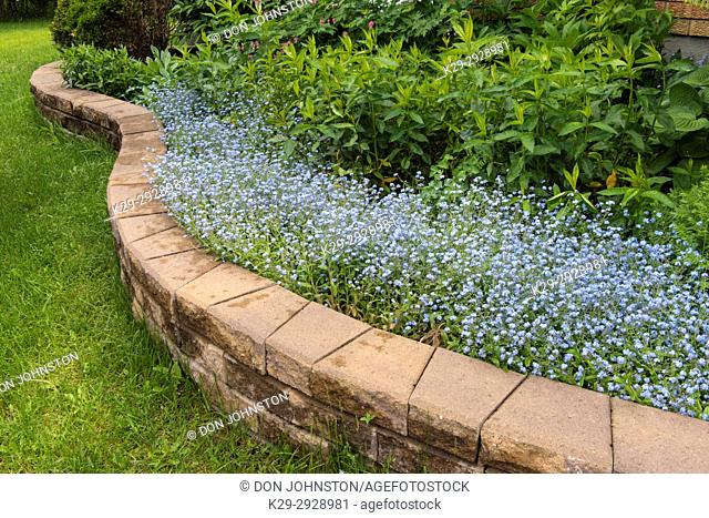 Outdoor garden flowers (Forget-me-nots) overhanging a garden wall in early summer, Greater Sudbury, Ontario, Canada