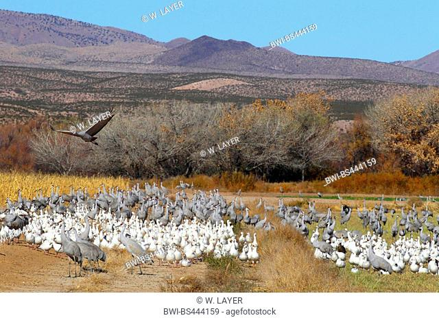 sandhill crane (Grus canadensis), with snow geese, USA, New Mexico