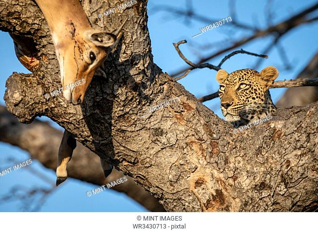 A leopard, Panthera pardus, lies in the fork of a tree with its impala kill, Aepyceros melampus, which drapes over the branch