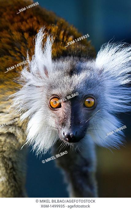 Black Lemur Eulemur macaco