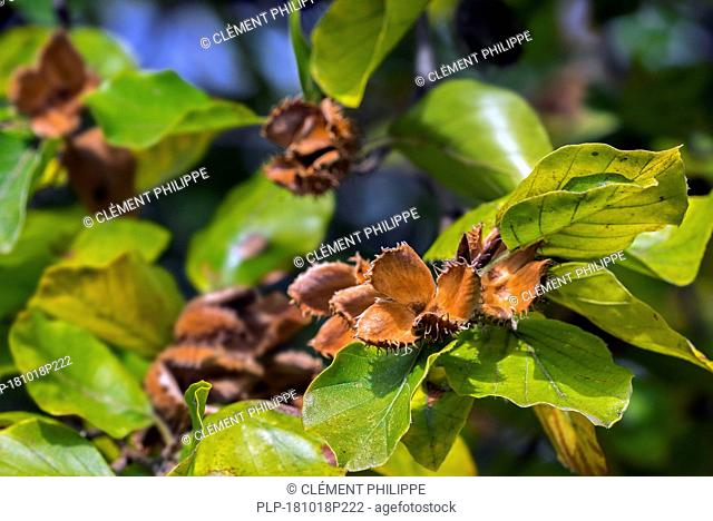 European beech / common beech (Fagus sylvatica) close up of leaves and open cupules in early autumn