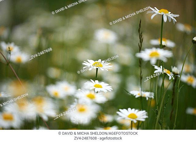 Close-up of a flower meadow with ox-eye daisy (Leucanthemum vulgare) blossoms in early summer