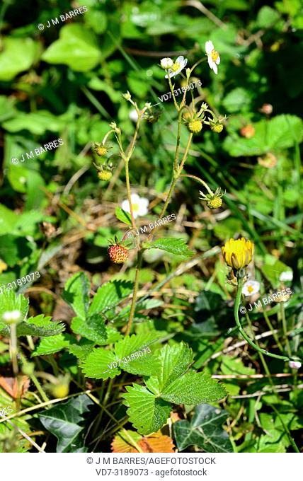 European wild strawberry (Fragaria vesca) is a perennial herb native to North Hemisphere. Its fruits are edible. This photo was taken in Valle de Aran