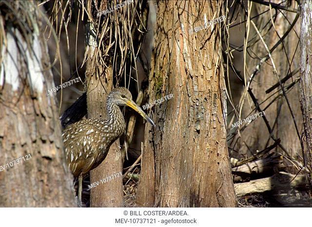 Limpkin - in swamp cypress habitat (Aramus guarauna)