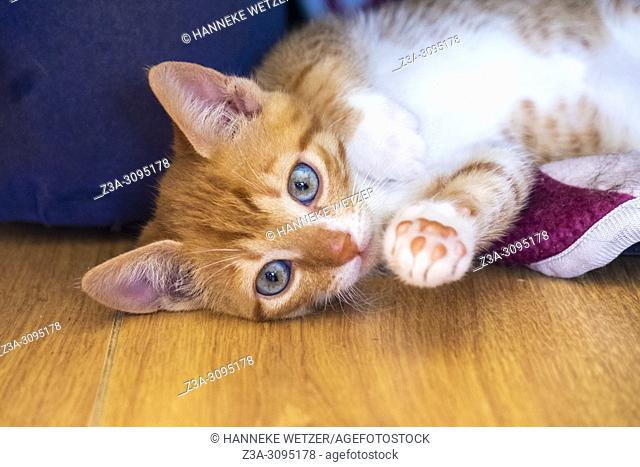 Bright blue eyed orange kitten laying on a wooden floor
