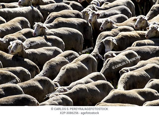 Flock of sheep crossing a transhumance road through the fields of the province of Soria in Spain
