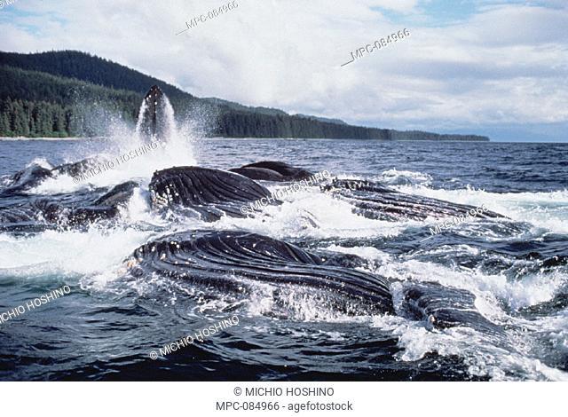 HUMPBACK WHALE, (Megaptera novaeangliae) GROUP COOPERATIVE FEEDING, ALASKA