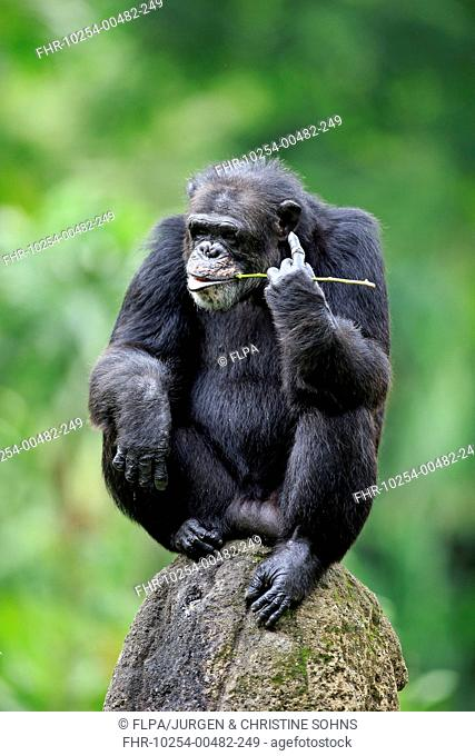 Central Chimpanzee (Pan troglodytes troglodytes) adult, drinking, using stem as tool to soak up water from hole in rock (captive)