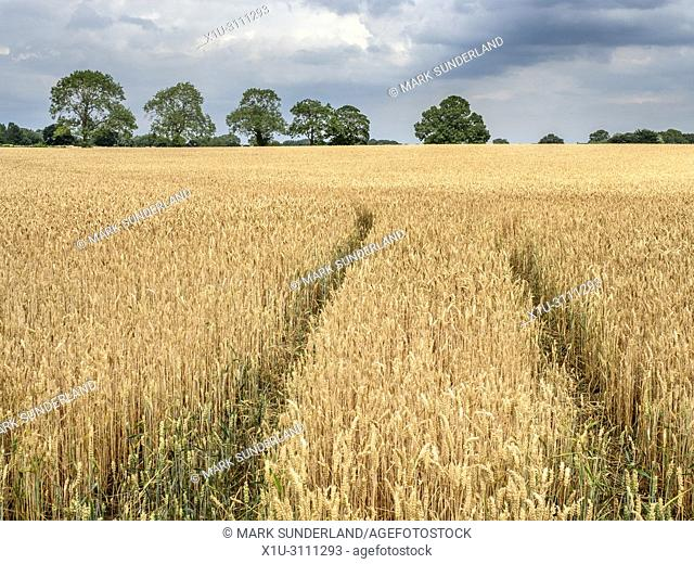 Trees on the horizon in a filed of ripe wheat near Knaresborough North Yorkshire England