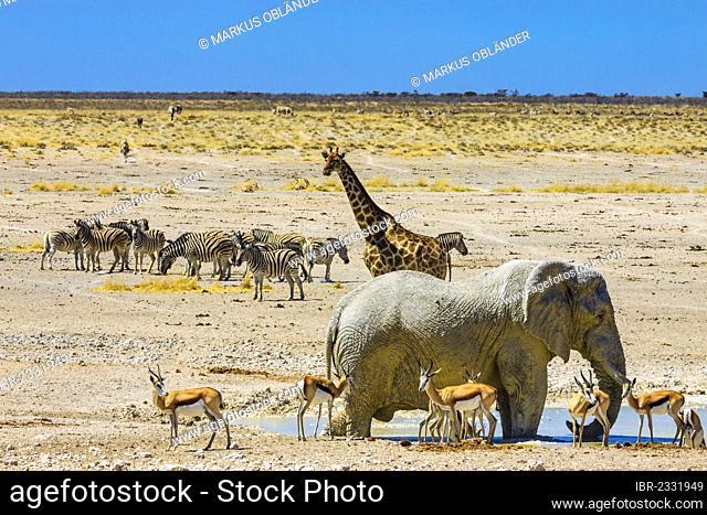African elephant (Loxodonta africana), giraffe (Giraffa camelopardalis), springboks (Antidorcas marsupialis) and zebras (Equus quagga) at the Nebrowni waterhole