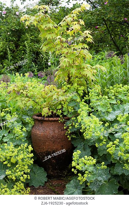 Decorative urn and spring borders of perennials and Japanese maple, traditional romantic garden in Kent England