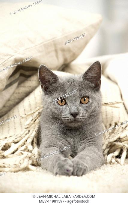 Chartreux cat indoors