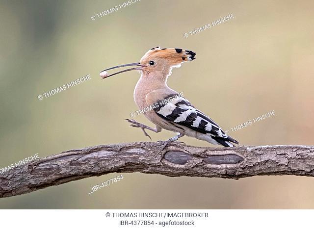 Hoopoe (Upupa epops) on branch with lizard egg in beak, Saxony-Anhalt, Germany